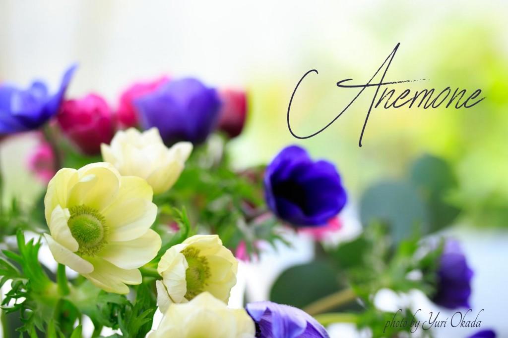 アネモネ-Anemone_1547